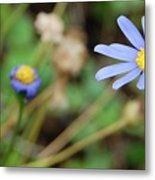 Little Blue Daisies Metal Print