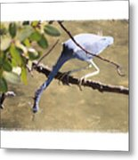 Little Blue Heron Going For Fish With Framing Metal Print