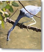Tricolored Heron Fishing Metal Print