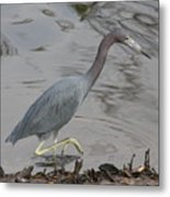 Little Blue Heron Walking Metal Print