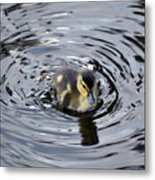 Little Duckling Goes For A Swim Metal Print