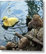 Little Ducky Metal Print