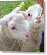 Little Lambs Eat Straw Not Ivy Metal Print