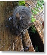 Little 'mighty Mouse' Metal Print