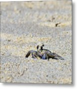Little Nag's Head Crab Metal Print