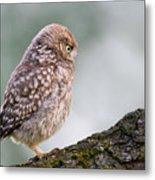 Little Owl Chick Practising Hunting Skills Metal Print