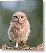 Little Owl Chick Metal Print