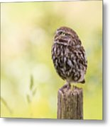 Little Owl Looking Up Metal Print
