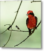 Little Red Beauty - Vermilion Flycatcher Metal Print