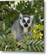 Little Ring-tailed Lemur Metal Print