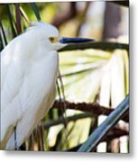 Little Snowy Egret Metal Print
