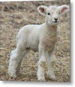 Little White Lamb Metal Print