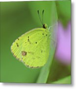 Little Yellow Butterfly Close-up Metal Print