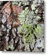 Live Oak Lichen II Metal Print