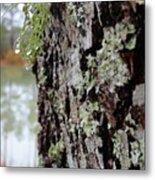 Live Oak Lichen Metal Print