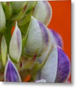 Lively Lupine Metal Print