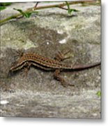 Lizard Tanning Metal Print