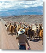 Llama Herd On Road Metal Print