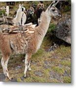 Llamas Carrying Firewood Metal Print
