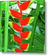 Lobster Claw Heliconia Metal Print
