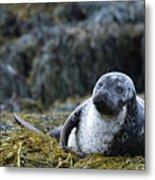 Loch Dunvegan's Harbor Seal Metal Print