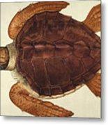 Loggerhead Turtle, 1585 Metal Print