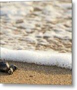 Loggerhead Turtle Hatchling 3 Delray Beach Florida Metal Print