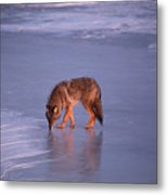 Lone Coyote On The Shore Of Lake Superior Metal Print