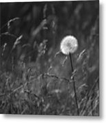 Lone Dandelion Black And White Metal Print