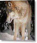 Lone Wolf IIi Metal Print