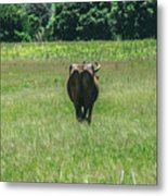 Lonely Cow 2 Metal Print