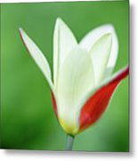 Lonely Lady Tulip Metal Print