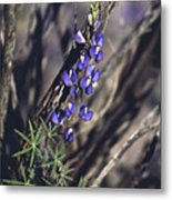 Lonely Lupine Metal Print