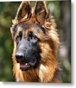 Long Coated German Shepherd Dog Metal Print