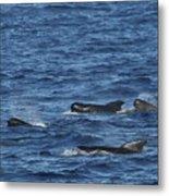 Long-finned Pilot Whales Metal Print
