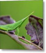 Long Grasshopper Metal Print