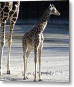 Long Legs - Giraffe Metal Print