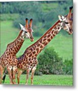 Long Necks Together Metal Print