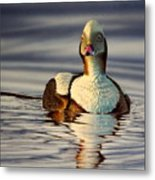 Long Tail Duck Metal Print