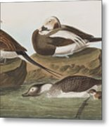 Long Tailed Duck Metal Print