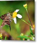 Long-tailed Skipper Butterfly Metal Print
