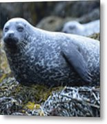 Long Whiskers On A Harbor Seal Metal Print