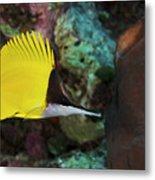 Longnose Butterflyfish Metal Print by Steve Rosenberg - Printscapes