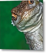 Look Reptile, Lizard Interested By Camera Metal Print