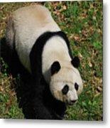 Looking Down At A Cute Giant Panda Bear Metal Print