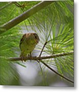Looking Down - Common Sparrow - Passer Domesticus Metal Print