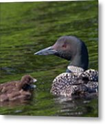 Loon Afternoon Metal Print