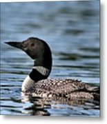 Loon In Blue Waters Metal Print