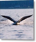 Loon Take Off Aborted Metal Print