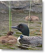 Loon Time Metal Print by Peter Gray